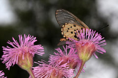 Butterfly. Collecting pollen from the purple flowers of the invader pompom weed Stock Image
