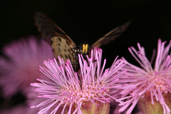 Butterfly. Collecting pollen from the purple flowers of the invader pompom weed Royalty Free Stock Images