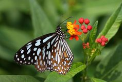 Butterfly Collecting Pollen from a Small Plant Royalty Free Stock Photos