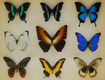Butterfly collecting and rich variety. Precious butterfly species and collection stock image