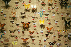 Butterfly Collection. A butterfly collection is pinned to a map showing the butterflies origins Stock Image
