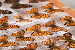 Butterfly collection. Collection of fritillaries Stock Photography