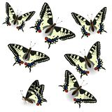 Butterfly collection. Realistic swallowtail. Vector illustration of isolated on pure background. It can be used as design element vector illustration