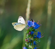 The butterfly collects nectar Stock Images