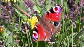 Butterfly collects nectar from a flower stock footage