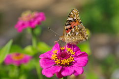 Butterfly collects nectar on a flower Stock Photography