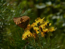 Butterfly collects nectar on the flowers of spring Royalty Free Stock Photography
