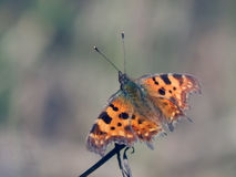 Butterfly collects nectar on the flowers of spring Stock Images