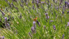 Butterfly collects nectar on lavender flowers. Summer season. Beautiful blooming lavender flowers swaying in the wind stock video footage