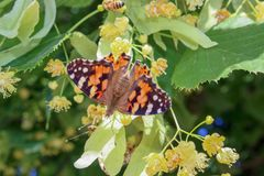 Butterfly with open wings on linden flowers close up stock image