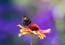 Beautiful butterfly collects nectar from an orange flower Sunny Royalty Free Stock Photography