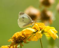Butterfly collects pollen from a yellow flower.  Stock Images