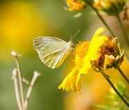 Butterfly collects pollen from a yellow flower.  Royalty Free Stock Photos