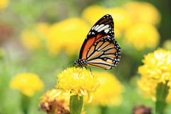 Butterfly. Coloful Butterfly fly in the flowers garden Stock Photos