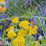 Butterfly. These colorful butterflies are found in Palo Duro Canyon State Park fluttering around bright yellow flowers royalty free stock image