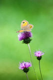 Butterfly. Colorful butterfly on purple thistle Royalty Free Stock Photo