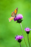Butterfly. Colorful butterfly on purple thistle Stock Photos