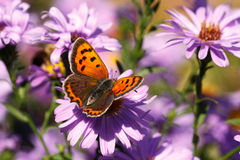 Butterfly. A colorful summer butterfly eating from a flower royalty free stock photography