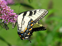 Butterfly colors. A yellow swallowtail butterfly on a butterfly bush Royalty Free Stock Images