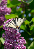 The butterfly on colors of a lilac. The butterfly scarce swallowtail drinks nectar from colors of a lilac Stock Photos
