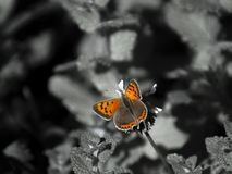 Butterfly Colors vs Black and white royalty free stock photos