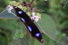 A butterfly. Colour in its wings Royalty Free Stock Photography