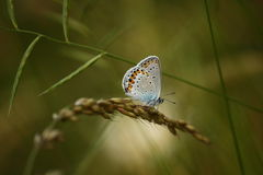 A butterfly with coloured wings (Scolitantides baton). A beautiful butterfly with coloured wing flew on a spike Royalty Free Stock Image