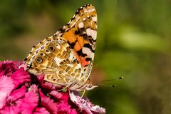 Butterfly. A colourfull butterfly eating the pollen from a flower stock images