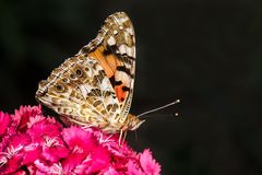 Butterfly. A colourfull butterfly eating the pollen from a flower royalty free stock photography