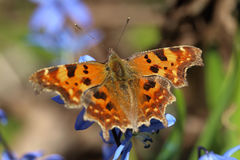 Butterfly - comma Polygonia c-album feeding on spring flowers Royalty Free Stock Images