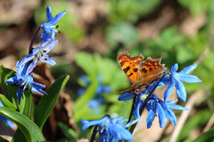 Butterfly - comma Polygonia c-album feeding on spring flowers Royalty Free Stock Image