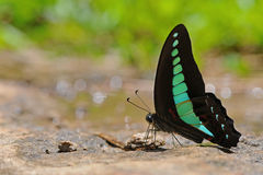 Butterfly(Common Bluebottle) Royalty Free Stock Image