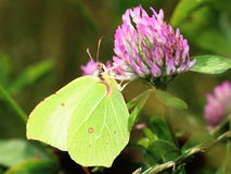 Butterfly - Common Brimstone on clovers flower Stock Photos