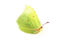Butterfly - Common Brimstone (Gonepteryx rhamni) isolated on whi Stock Photography