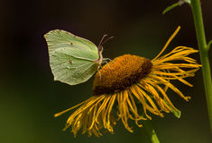 Butterfly Common brimstone (Gonepteryx rhamni) sits on a elecampane flower Royalty Free Stock Image