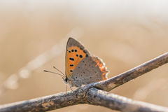 Butterfly common copper; Lycaena phlaeas; on a dry twig Royalty Free Stock Photography