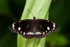 Butterfly, Common Crow. Common Crow, Euploea core, in tropical garden Royalty Free Stock Images