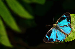 Butterfly (Common Gem) perching on flower Royalty Free Stock Photography