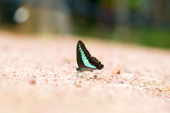 Butterfly common jay eaten mineral on sand. Stock Photography