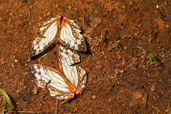 Butterfly Common Map & x28;Cyrestis thyodamas& x29; Royalty Free Stock Photos