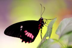 Butterfly, common rose, Pachliopta aristolochiae Royalty Free Stock Image