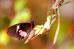 Butterfly, common rose, Pachliopta aristolochiae Royalty Free Stock Photos