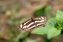 Butterfly (common sailer/ neptis hylas) Stock Images