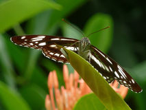 Butterfly - common sailor Royalty Free Stock Photo