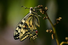 Butterfly Common Swallowtail. The Swallowtail butterfly is of the Papilionidae family, which is one of the largest butterfly families in the world Royalty Free Stock Photos