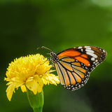 Butterfly (Common Tiger) and beautiful yellow flower Royalty Free Stock Image