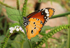Butterfly. Common tiger butterfly and flower Stock Images