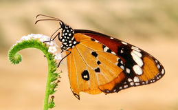 Butterfly. Common tiger butterfly and flower Royalty Free Stock Photography