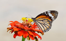 Butterfly (Common Tiger) and flower Royalty Free Stock Photo
