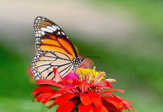 Butterfly (Common Tiger) and flower Stock Image